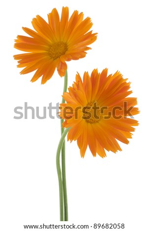 Studio Shot of Orange Colored Calendula Flowers Isolated on White Background. Large Depth of Field (DOF). Macro. Sacred Flower of Ancient India. - stock photo