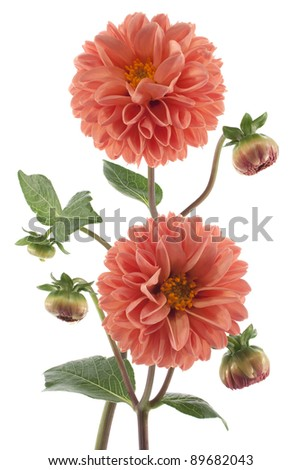 Studio Shot of  Orange Colored Dahlia Flowers Isolated on White Background. Large Depth of Field (DOF). Macro. Symbol of Elegance, Dignity and Good Taste. - stock photo