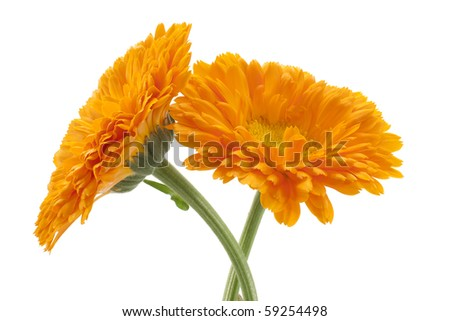 Studio Shot of Orange Colored Marigold Isolated on White Background. Large Depth of Field (DOF). Macro. - stock photo
