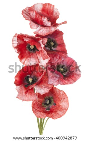 Studio Shot of Orange Colored Poppy Flowers Isolated on White Background. Large Depth of Field (DOF). Macro. - stock photo