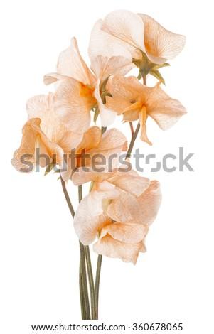 Studio Shot of Orange Colored Sweet Pea Flowers Isolated on White Background. Large Depth of Field (DOF). Macro. - stock photo