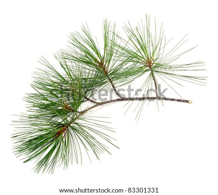 Studio shot of Part of a fir branch on white background - stock photo