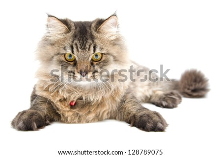 Studio shot of Persian cat, Front Face - stock photo