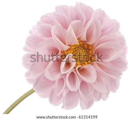 Studio Shot of Pink and Lilac Colored Dahlia Isolated on White Background. Large Depth of Field (DOF). Macro. Symbol of Elegance and Dignity. - stock photo