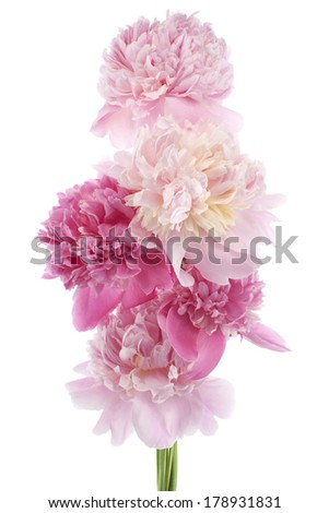 Studio Shot of Pink and Lilac Colored Peony Flowers Isolated on White Background. Large Depth of Field (DOF). Macro. - stock photo