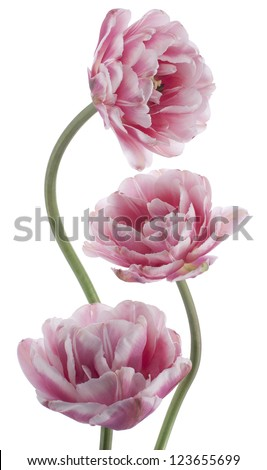 Studio Shot of Pink and White Colored Tulip Flowers Isolated on White Background. Large Depth of Field (DOF). Macro. National Flower of The Netherlands, Turkey and Hungary. - stock photo