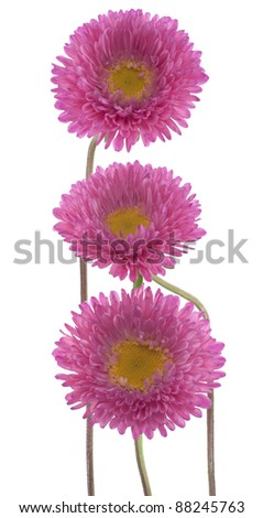 Studio Shot of  Pink Colored China Aster Flowers Isolated on White Background. Large Depth of Field (DOF). Macro. Symbol of Jealosy. - stock photo