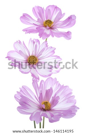 Studio Shot of Pink Colored Cosmos Flowers Isolated on White Background. Large Depth of Field (DOF). Macro. - stock photo