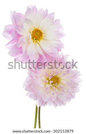 Studio Shot of Pink Colored Dahlia Flowers Isolated on White Background. Large Depth of Field (DOF). Macro. Symbol of Elegance, Dignity and Good Taste. - stock photo
