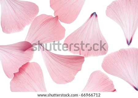 Studio Shot of Pink Colored Mallow Petals Isolated on White Background. Macro. - stock photo