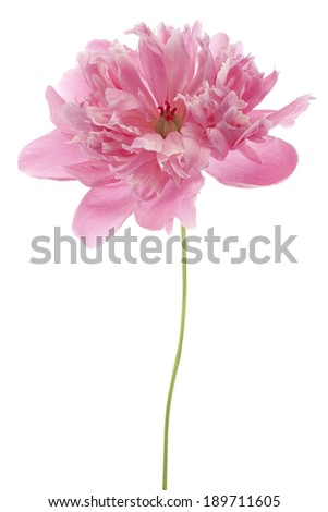 Studio Shot of Pink Colored Peony Flower Isolated on White Background. Large Depth of Field (DOF). Macro. - stock photo