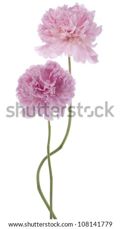 Studio Shot of Pink Colored Peony Flowers Isolated on White Background. Large Depth of Field (DOF). Macro.