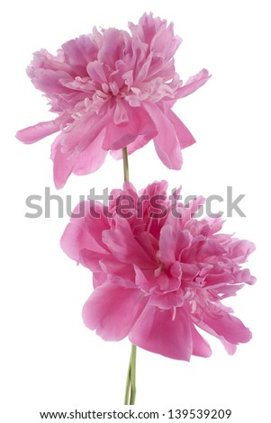 Studio Shot of Pink Colored Peony Flowers Isolated on White Background. Large Depth of Field (DOF). Macro. - stock photo