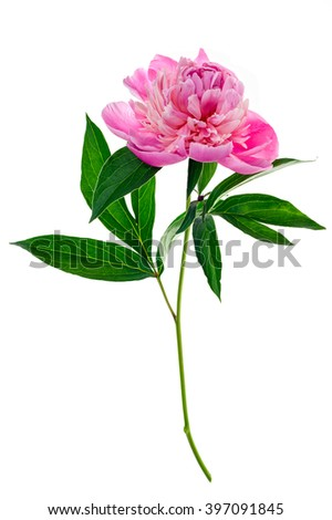 Studio shot of pink colored peony isolated on white background. Side view.
