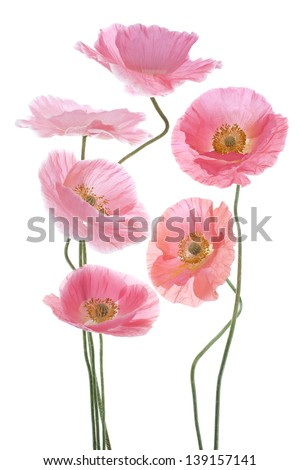 Studio Shot of Pink Colored Poppy Flowers Isolated on White Background. Large Depth of Field (DOF). Macro. Symbol of Sleep, Oblivion and Imagination. - stock photo