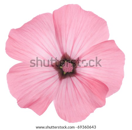 Studio Shot of Pink Colored Rose Mallow Isolated on White Background. Large Depth of Field (DOF). Macro.
