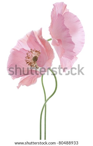 Studio Shot of Pink Poppy Isolated on White Background. Large Depth of Field (DOF). Macro. Symbol of Sleep, Oblivion and Imagination. - stock photo