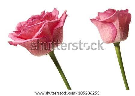 Studio shot of pink rose isolated on white background.