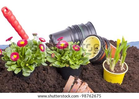 studio-shot of planting  flowers into flower soil, isolated on white. gardening scene with a garden shovel, terracotta flowerpots, daisy flowers ( bellis perennis ) and narcissus flower bulb. - stock photo