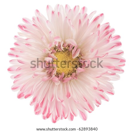 Studio Shot of Purple and White Colored China Aster Isolated on White Background. Large Depth of Field (DOF). Macro. - stock photo