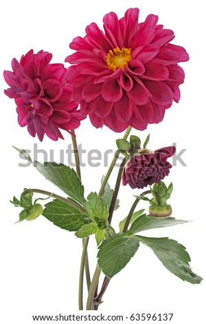 Studio Shot of Purple Colored Dahlia Bouquet Isolated on White Background. Large Depth of Field (DOF). Macro. Symbol of Elegance and Dignity. - stock photo