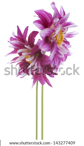 Studio Shot of Purple Colored Dahlia Flowers Isolated on White Background. Large Depth of Field (DOF). Macro. Symbol of Elegance, Dignity and Good Taste.