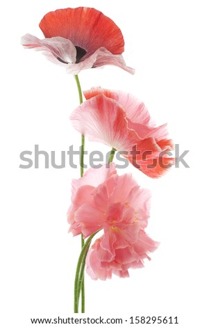 Studio Shot of Red and Pink Colored Poppy Flowers Isolated on White Background. Large Depth of Field (DOF). Macro. Symbol of Sleep, Oblivion and Imagination. - stock photo