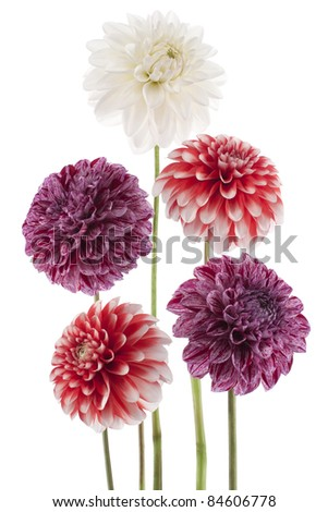 Studio Shot of  Red and White Colored Dahlias Isolated on White Background. Large Depth of Field (DOF). Macro. Symbol of Elegance, Dignity and Good Taste. - stock photo