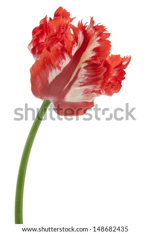 Studio Shot of Red and White Colored Tulip Flower Isolated on White Background. Large Depth of Field (DOF). Macro. National Flower of The Netherlands, Turkey and Hungary. - stock photo