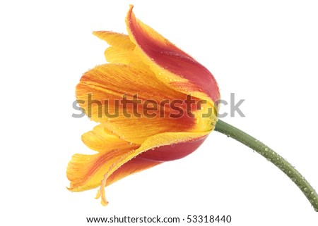 Studio Shot of Red and Yellow Colored Tulip with Water Drops Isolated on White Background. Large Depth of Field (DOF). - stock photo