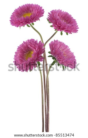 Studio Shot of  Red Colored China Aster Flowers Isolated on White Background. Large Depth of Field (DOF). Macro. Symbol of Jealosy. - stock photo