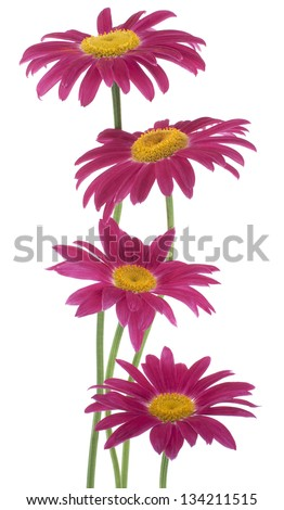 Studio Shot of Red Colored Daisy  Flowers Isolated on White Background. Large Depth of Field (DOF). Macro.