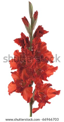 Studio Shot of Red Colored Gladiolus Isolated on White Background. Large Depth of Field (DOF). Macro. Symbol of Reminisce, Love and Precision.