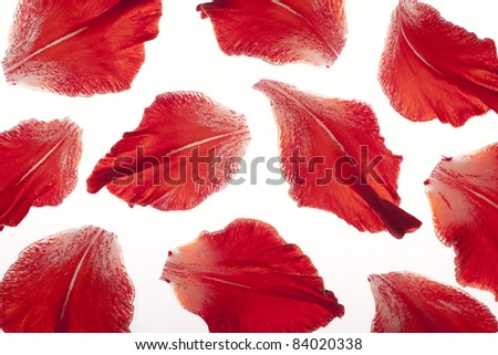 Studio Shot of Red Colored Gladiolus Petals on White Background. Large Depth of Field (DOF). Macro. Symbol of Reminisce, Love and Precision. - stock photo