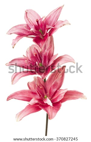 Studio Shot of  Red Colored Lily Flowers Isolated on White Background. Large Depth of Field (DOF). Macro. - stock photo
