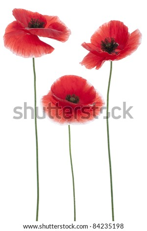 Studio Shot of Red Colored Poppies  Isolated on White Background. Large Depth of Field (DOF). Macro. National Flower of Beldium and Poland. - stock photo