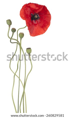 Studio Shot of Red Colored Poppy Flower Isolated on White Background. Large Depth of Field (DOF). Macro. National Flower of Beldium and Poland. - stock photo