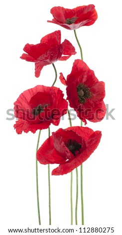 Studio Shot of Red Colored Poppy Flowers Isolated on White Background. Large Depth of Field (DOF). Macro. National Flower of Beldium and Poland. - stock photo