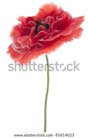 Studio Shot of  Red Colored Poppy Isolated on White Background. Large Depth of Field (DOF). Macro. National Flower of Beldium and Poland. - stock photo