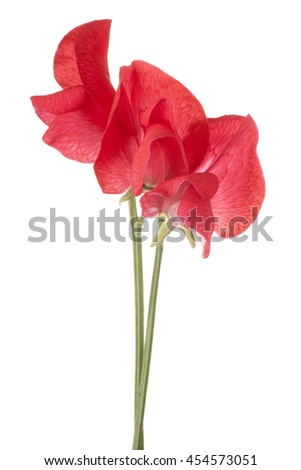 Studio Shot of Red Colored Sweet Pea Flowers Isolated on White Background. Large Depth of Field (DOF). Macro. - stock photo