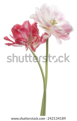 Studio Shot of  Red Colored Tulip Flowers Isolated on White Background. Large Depth of Field (DOF). Macro. National Flower of The Netherlands, Turkey and Hungary. - stock photo