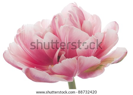 Studio Shot of  Red Colored Tulip Isolated on White Background. Large Depth of Field (DOF). Macro. National Flower of The Netherlands, Turkey and Hungary. - stock photo