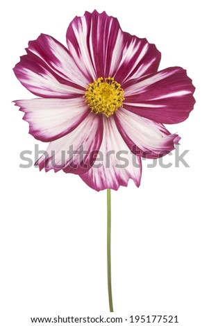 Studio Shot of Red-violet Colored Cosmos Flower Isolated on White Background. Large Depth of Field (DOF). Macro.