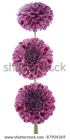 Studio Shot of  Red-violet Colored Dahlia Flowers Isolated on White Background. Large Depth of Field (DOF). Macro. Symbol of Elegance, Dignity and Good Taste.