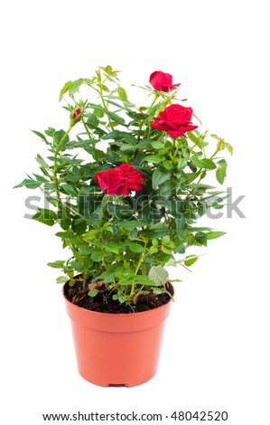Studio shot of roses in pot isolated on white