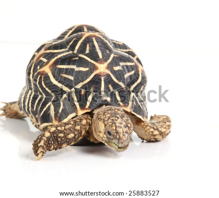 studio shot of the geometric tortoise - stock photo