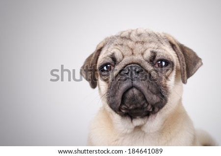 Studio shot  of the squinting fawn pug portrait - stock photo