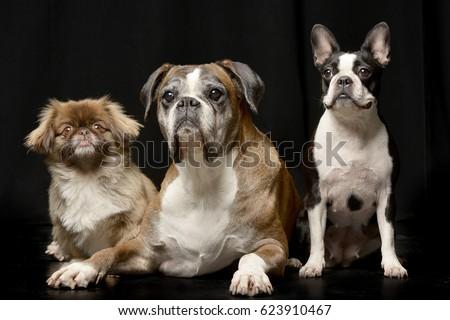 Top Bulldog Black Adorable Dog - stock-photo-studio-shot-of-three-adorable-dog-pekingese-boxer-boston-terrier-isolated-on-black-623910467  2018_30859  .jpg