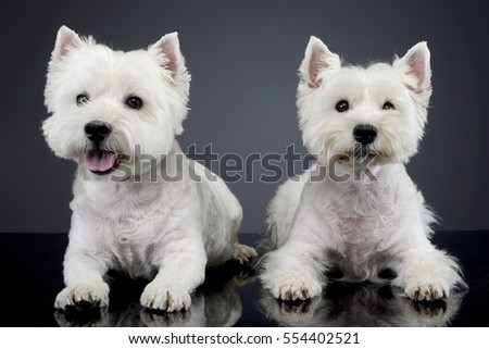 Studio shot of two cute west highland white terrier lying on grey background.