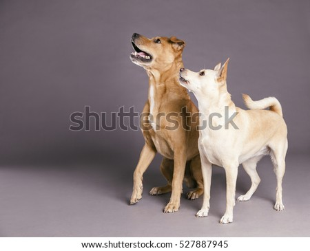Studio shot of two mixed breed dogs looking up at something off-frame with tense expressions on gray background.